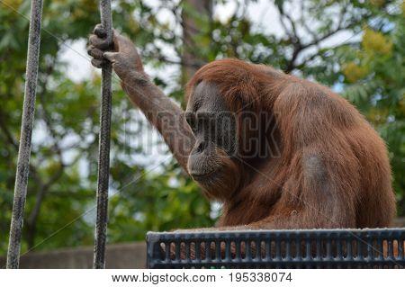 A female orangutan sitting on a platform