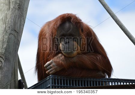 A curious orangutan watching from a platform