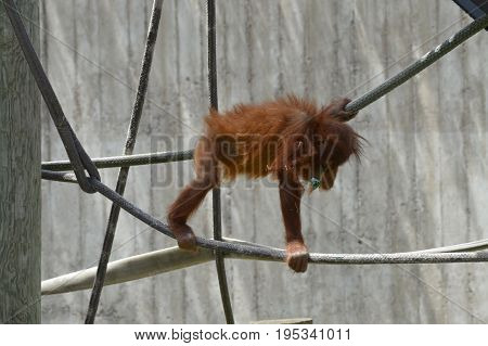 A baby orangutan playing on the ropes
