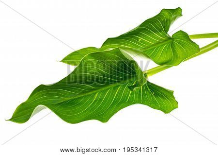 Blooming white calla with green leaves on light background. Studio Photo