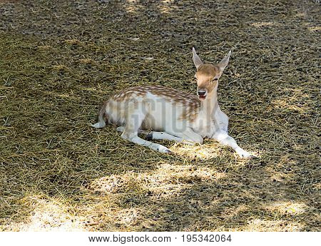 Young fawn in a white spot lies on the grass smiling in the shade of a tree