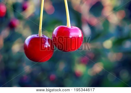 Two Cherry Berries On Blurred Background