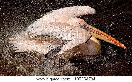 pelican in action on a black background