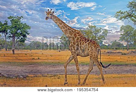 Tall Common Giraffe walking across the dry empty plains in Hwange National Park, Zimbabwe