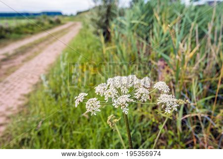 Closeup of white flowering cow parsley in the verge of a country road. On the flower a red soldier beetle is visible. It is a sunny day in the Dutch summer season.