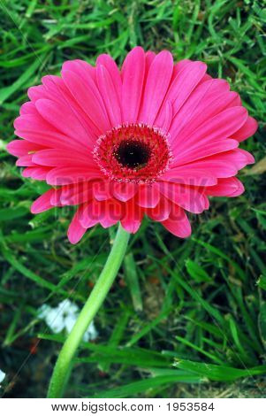 Isolated Pink Daisy Flower