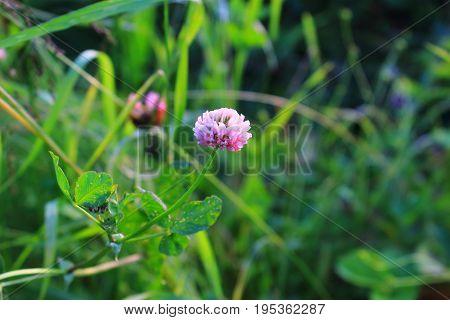 Pink Clover in the sun on the meadow. Wildflowers and meadow flowers. Pink clover in the grass with bokeh. Macro foto