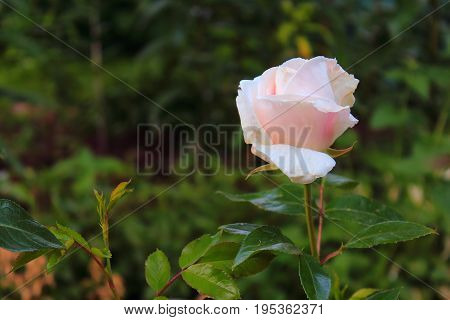White and pink roses in the garden. Delicate Rosebuds. Bright orange roses. Caring for garden roses. Rose Bush