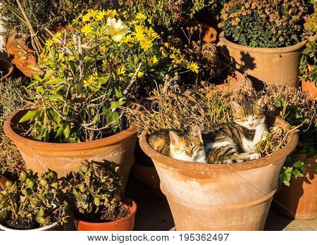 Two Cats Laying In The Flower Pot