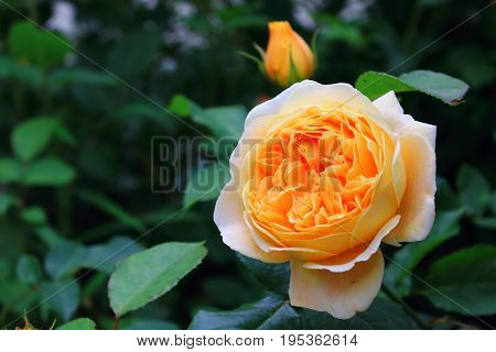 Orange and yellow roses in the garden. Bright orange roses. Delicate Rosebuds. Caring for garden roses. Rose Bush