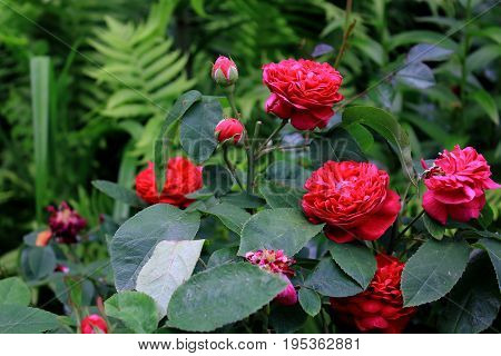 Red garden roses. Bushes red garden roses. Caring for garden shrubs roses. Landscape design