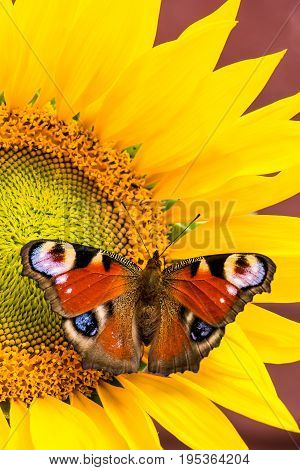 Nice Color Butterfly Perched On Sunflower Bloom