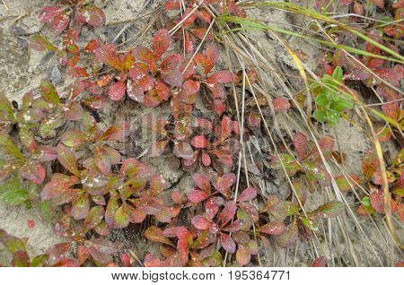 Forest grass red color is a natural cover in autumn