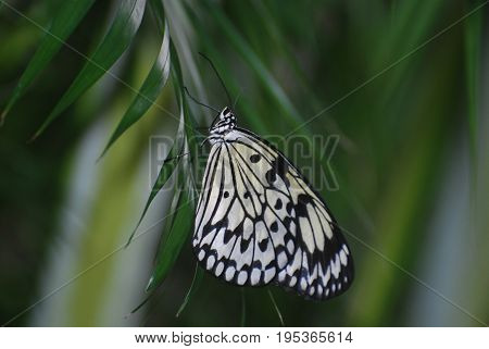Lovely white tree nymph sitting on green foliage in nature.