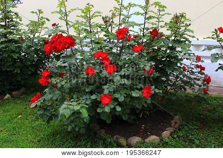 Red garden roses. Bushes red garden roses. Red roses on the bushes. Caring for garden shrubs roses. Landscape design