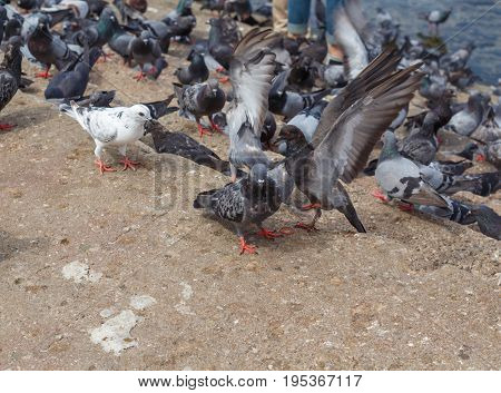 Many pigeons And pigeons are spread wings.