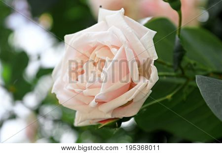 Delicate pink rose on the bush in the summer