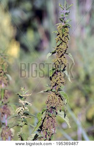 Nettle (Urtica dioica) of the ditch banks herbs.
