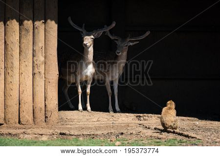 Macaque Looking At Two Stags In Shed