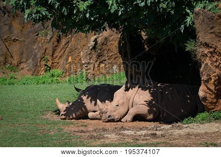 White Rhinoceros Dozing In Shade Under Tree