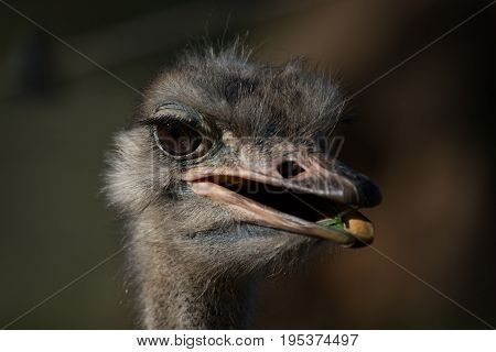 Close-up Of Head Of Ostrich Chewing Grass