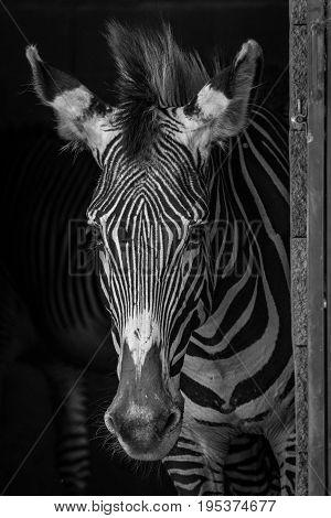 Mono Close-up Of Grevy Zebra In Barn