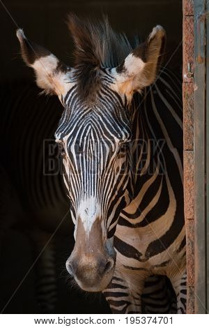 Close-up Of Grevy Zebra Standing In Barn