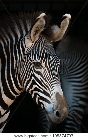 Close-up Of Grevy Zebra With Another Behind