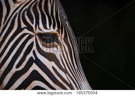 Close-up Of Grevy Zebra Head In Blackness