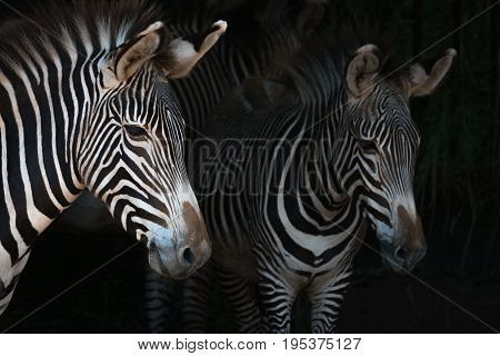 Close-up Of Grevy Zebra Mother By Foal