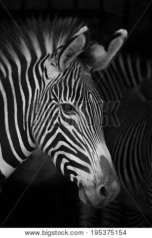 Close-up Of Grevy Zebra Head Beside Others