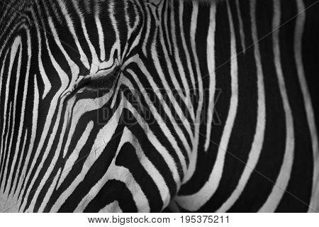 Mono Close-up Of Grevy Zebra Closing Eye
