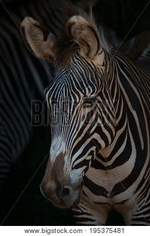 Close-up Of Grevy Zebra Head Looking Down