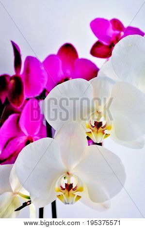 White and violet orchids on light grey background