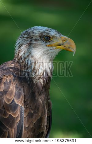 Close-up Of Bald Eagle Head And Neck