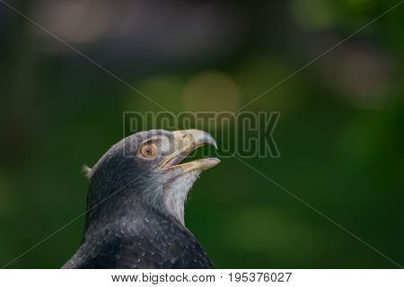 Close-up Of Black-chested Buzzard-eagle Looking Up High
