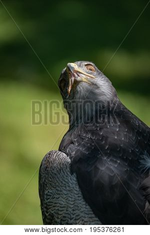 Close-up Of Black-chested Buzzard-eagle With Twisted Neck