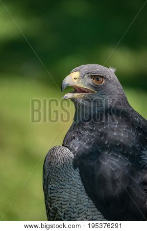 Close-up Of Black-chested Buzzard-eagle Half In Sunlight