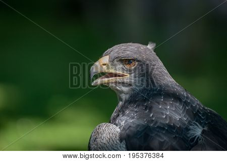 Close-up Of Black-chested Buzzard-eagle Half In Sun
