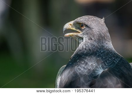 Close-up Of Black-chested Buzzard-eagle With Open Beak