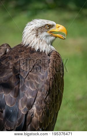 Close-up Of Bald Eagle With Beak Open