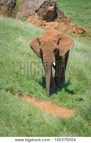 Elephant Covered In Red Dust Passes Rocks
