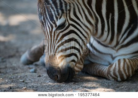 Close-up Of Grevy Zebra Foal Lying Down
