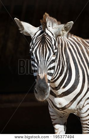Close-up of Grevy zebra standing in sunshine