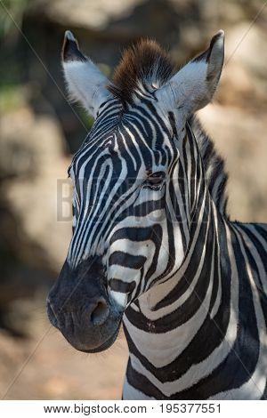 Close-up Of Grevy Zebra In Dappled Sunlight