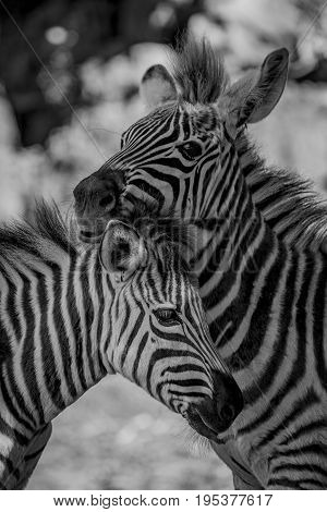 Mono Close-up Of Grevy Zebra Nuzzling Another
