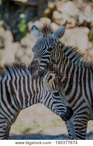 Close-up Of Grevy Zebra Resting On Another