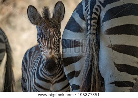 Close-up Of Grevy Zebra Foal In Shadows