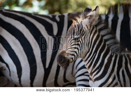 Close-up Of Baby Grevy Zebra Beside Mother