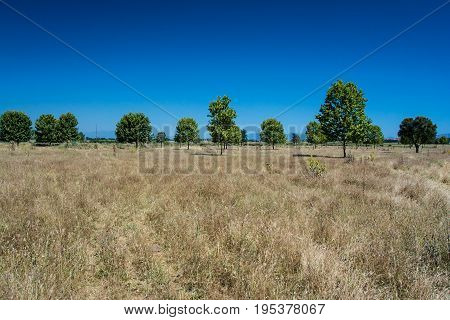 Lines of pine trees and grassland in Riells on the Costa Brava